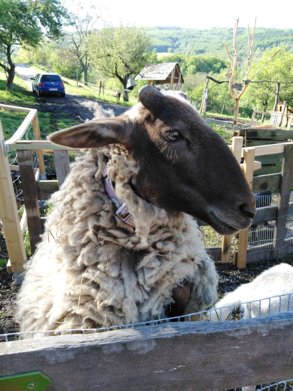 sheep dobra luka