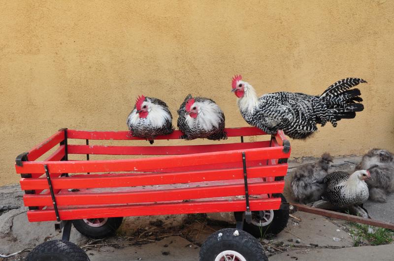 chickens dobra luka